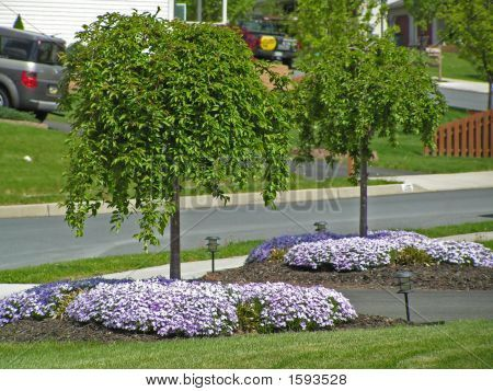 Picture or Photo of Dwarf snowfountain Cherry trees planted on either side of a driveway with creeping phlox underneath.