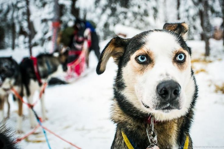 Husky dog sledding in Lapland Finland - Visiting Finland in Winter: Top 15 Winter Activities in Finland