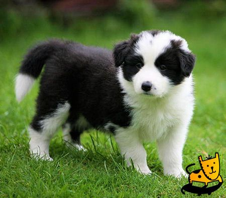 border collie pup pictures | Weight (F): 30 - 40 lb
