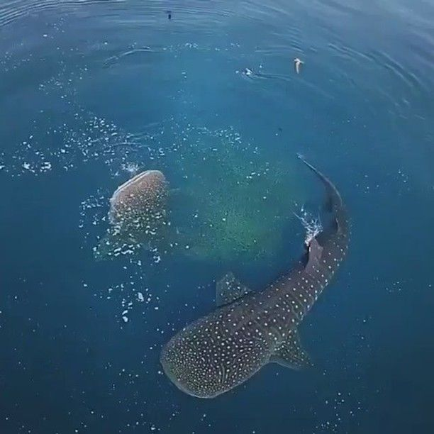 Curious fact: With a lifespan of over 100 years, whalesharks supposed to be one of the longest living animals in the world! .  Congratulations to @simonjpierce for this fantastic drone video of feeding whalesharks. Please check and follow his gallery for more awesome videos like this! .  Follow us in Facebook (Link in Bio !) and tag your pics with #thebarefootwalker for a possible feature here! .  #scubadiving #scuba #diving #paradise #kohtao #shark #whaleshark #nature #paradise #ilovediving…