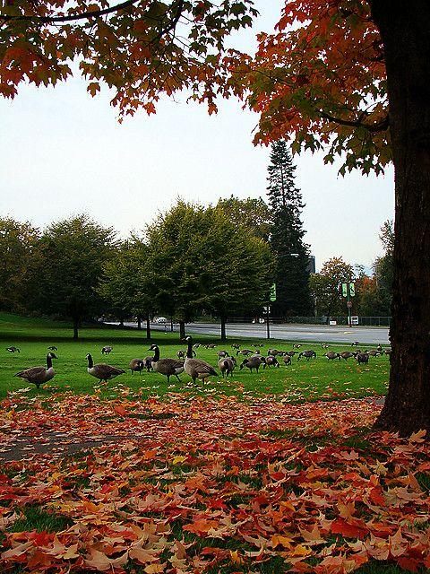 Canadian geese at Deer Lake Park, Burnaby.