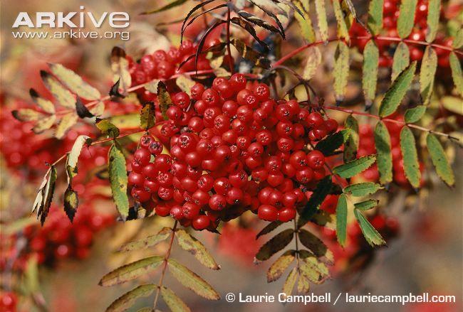 Rowan berries in autumn
