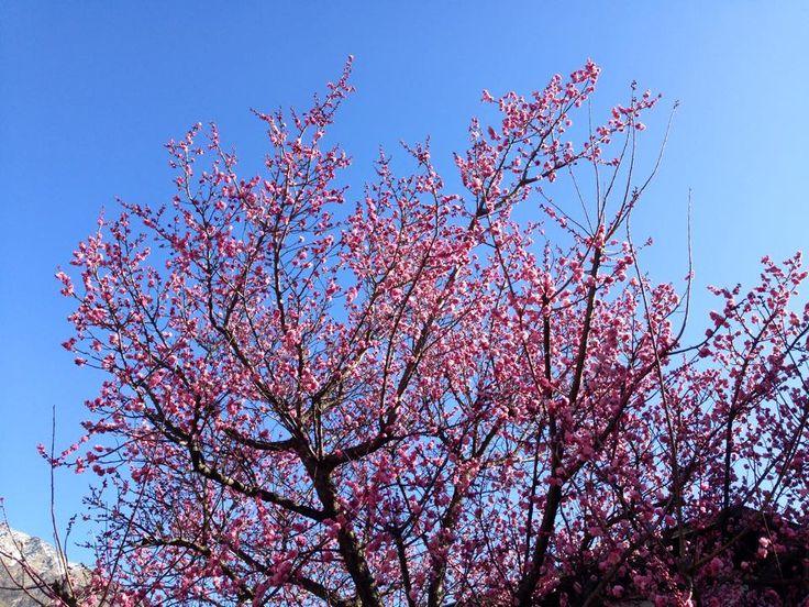 Die Apdfelblüte ist im vollen Gange