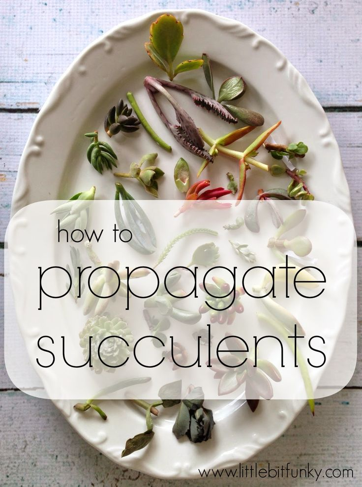 Little Bit Funky: How to Propagate Succulents! {or how to make more succulents from other succulents}