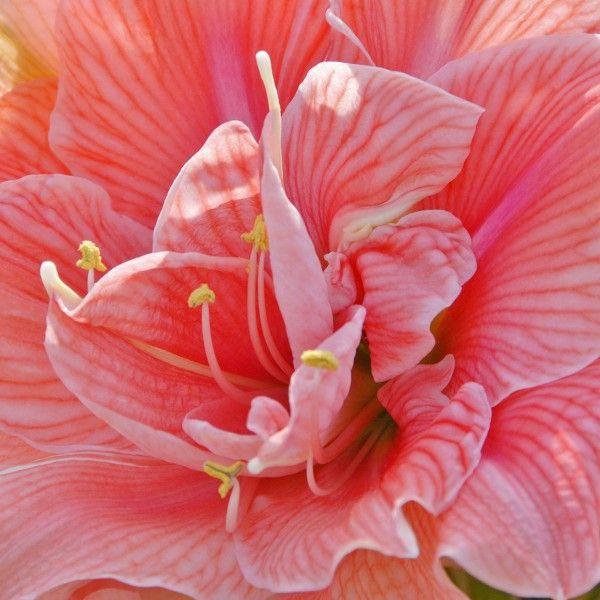 17 best images about amaryllis hippeastrum on pinterest. Black Bedroom Furniture Sets. Home Design Ideas