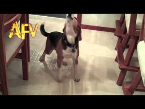 An Excited Beagle Doing the Cha-Cha-Cha Dance