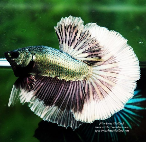 Nice Betta Thailand Co Ltd Betta Fish For Sale Siamese Fighting Fish In 2020 Betta Fish Siamese Fighting Fish Breeding Betta Fish
