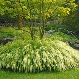 Golden Japanese Forest Grass - traditional - plants - other metro - Stark Bro's