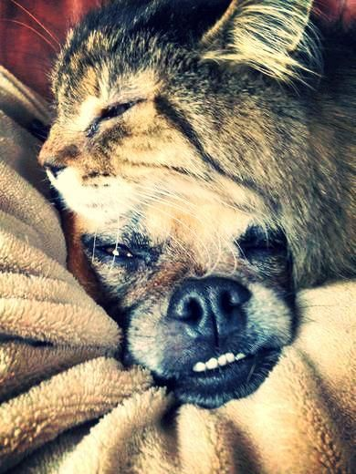 Cat nap with the dog... awww it's a puggle with an underbite, just like Lucy! lol