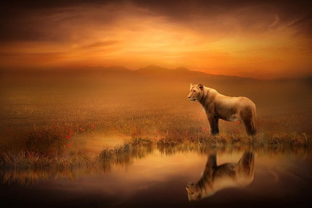 Wallpapers | Wallpaper #125453 | Tags: reflection, art, lioness | Category: Animals | Wallpaper size: 2048x1365