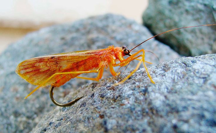 Orange October Caddis fly replica published in the Atlas of Creation