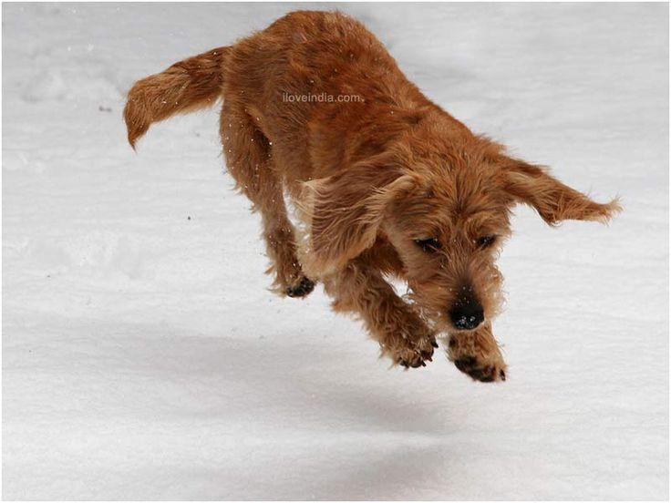 Fauve de Bretagne basset - very nice dog for the future!
