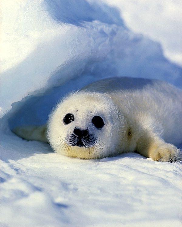 The 25+ best Harp seal pup ideas on Pinterest | Baby seal ...