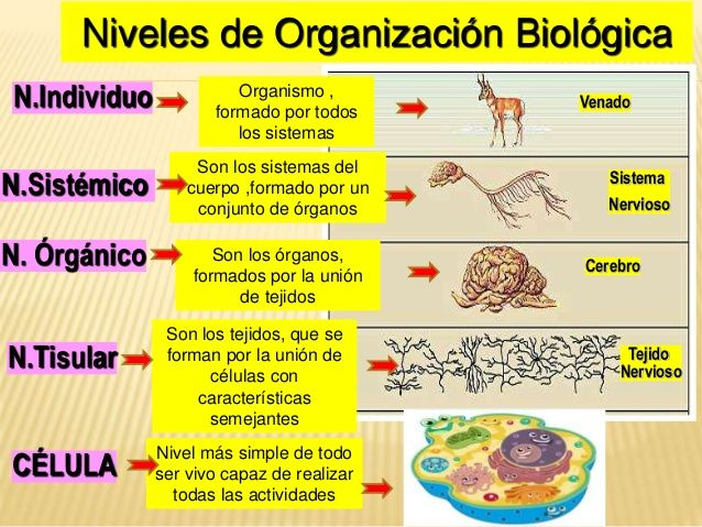 Ejemplos De Cada Nivel De Organizaciones Buscar Con Google Seres Vivos Enseñanza Biología Biología