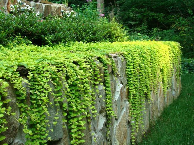 Creeping Jenny over a ledge.. so pretty and this will be perfect for the brick wall in the back yard