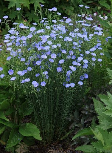 Flax - one hearty plant that come up year after year - and the deer won't eat it! Sun/Part Sun, Zones 5-9, Perennial, 2 x 2 feet. Blooms late summer.