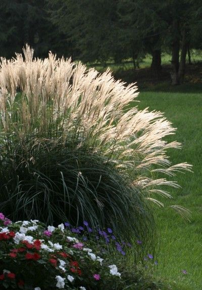 91 best images about ornamental grasses on pinterest sun for Landscape grasses for sun