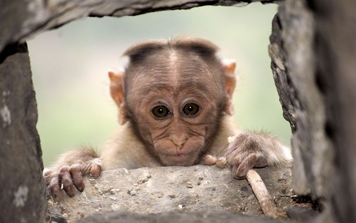 Download wallpapers little monkey, portrait, cute animals, wildlife, monkeys