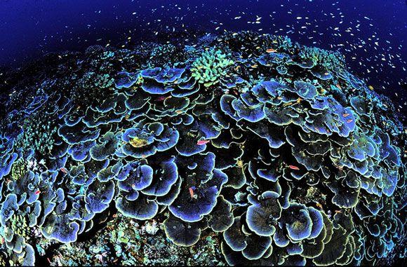 Coral at Jarvis Island National Wildlife Refuge. Image Credit: Jim Maragos, USFWS.