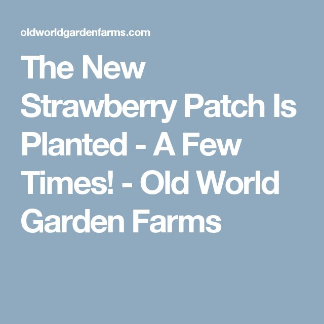 The New Strawberry Patch Is Planted - A Few Times! - Old World Garden Farms