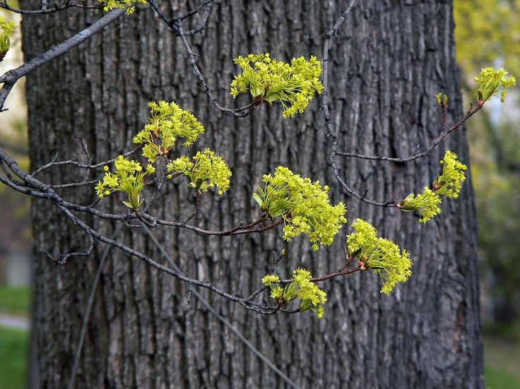 Norway Maple, Acer platanoides - Trees and shrubs - NatureGate