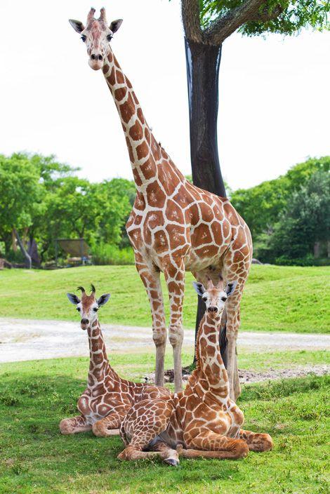Busch Gardens Tampa FL  Google Image Result for http://www.zooborns.com/.a/6a010535647bf3970b013485728cdb970c-800wi