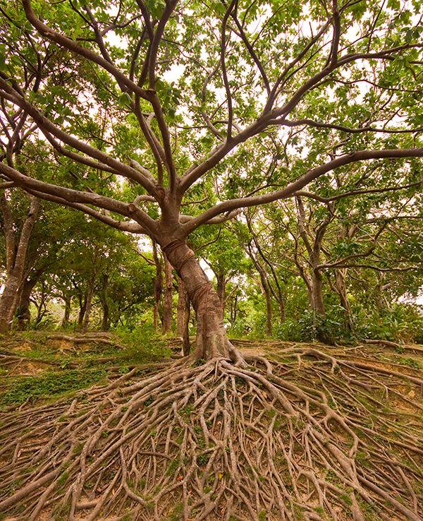 Tree of Life at Shurijo Castle, Okinawa