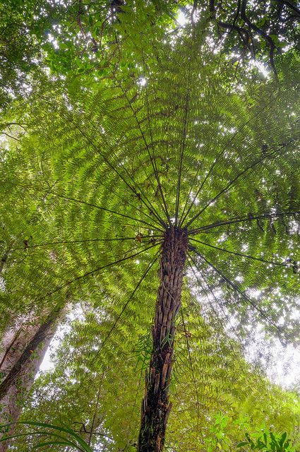 Tree fern seen along Trounson Kauri Walk on New Zealand's North Island