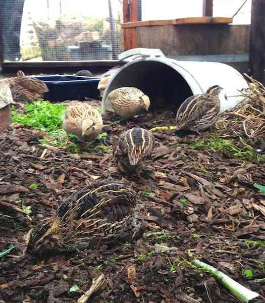 Keeping Backyard Quails: Efficient Home-Grown Protein ...