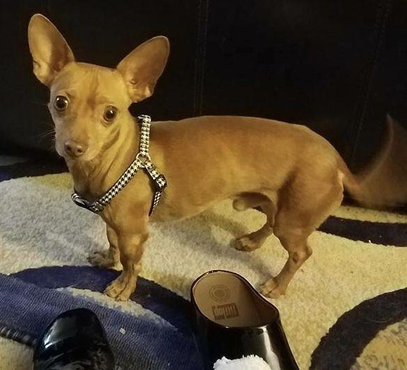 Chiweenie Dog For Adoption In O Fallon Mo Adn 752013 On