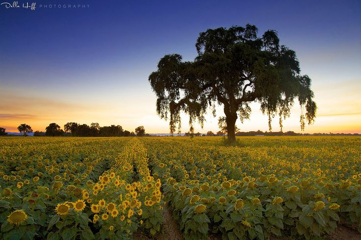 Sunflower fields at dusk near Woodland in Yolo County, California.