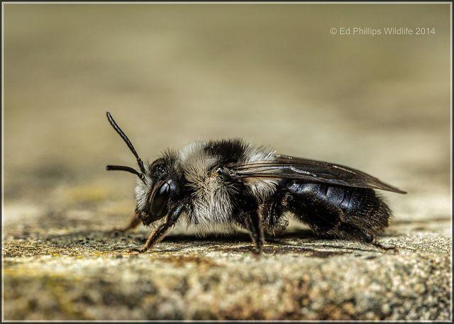 Ashy Mining Bee (f) by Ed Phillips 01, via Flickr