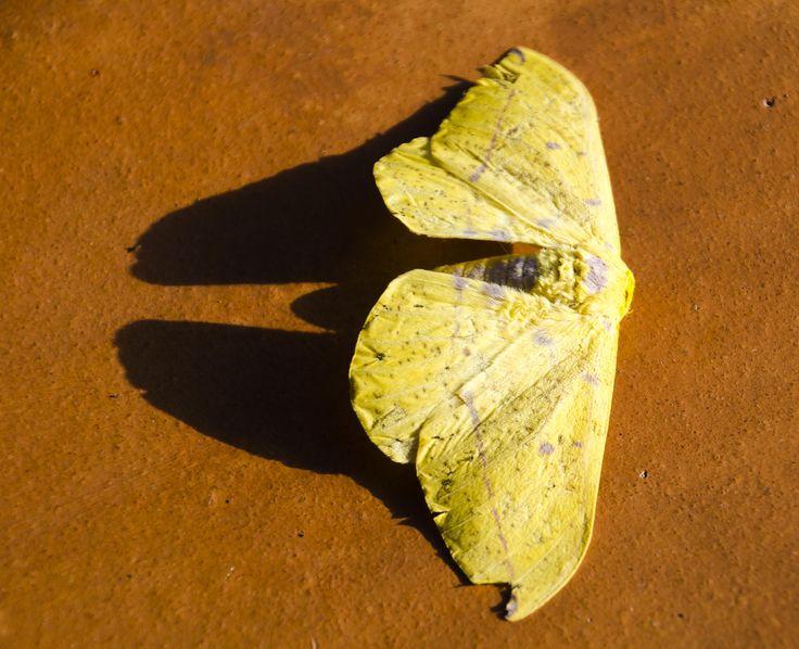 mariposa amarilla insecto