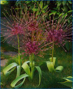 Allium schubertiiAllium Schubertii Pl, Spring Bulbs, 2013 Flower, Allium Flower, Flower Bulbs, Gardens, Fall Plants, Allium Schubertii Must, Allium Bulbs
