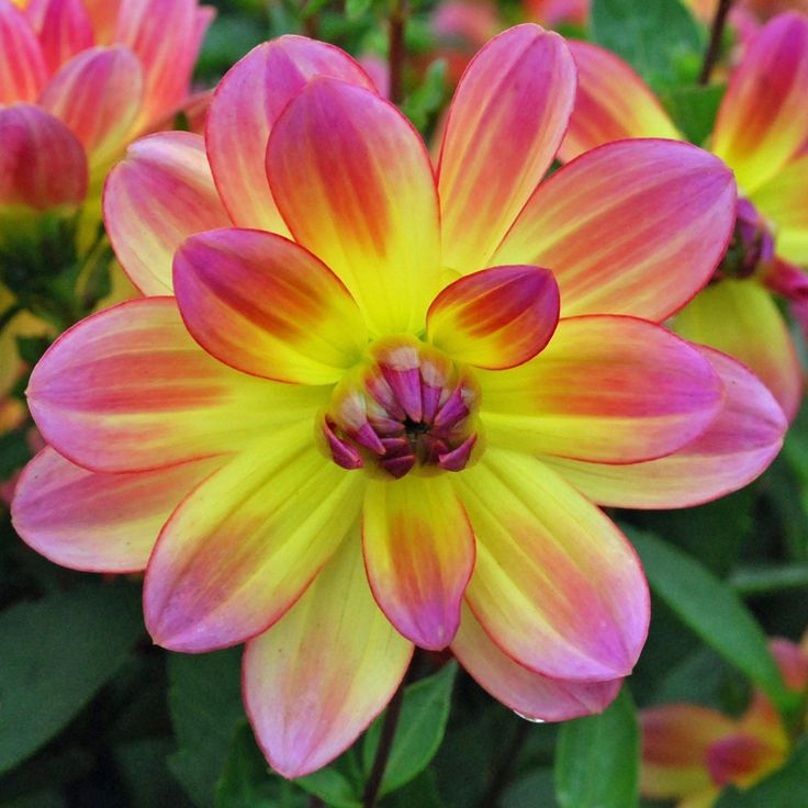 Dahlia 'Pacific Ocean'. I just picked up some of these bulbs. Can't wait to see them bloom : )