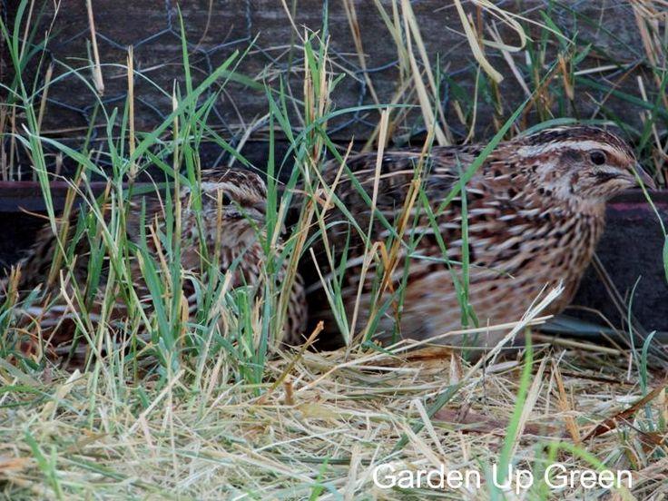 raising-quail-in-the-snow