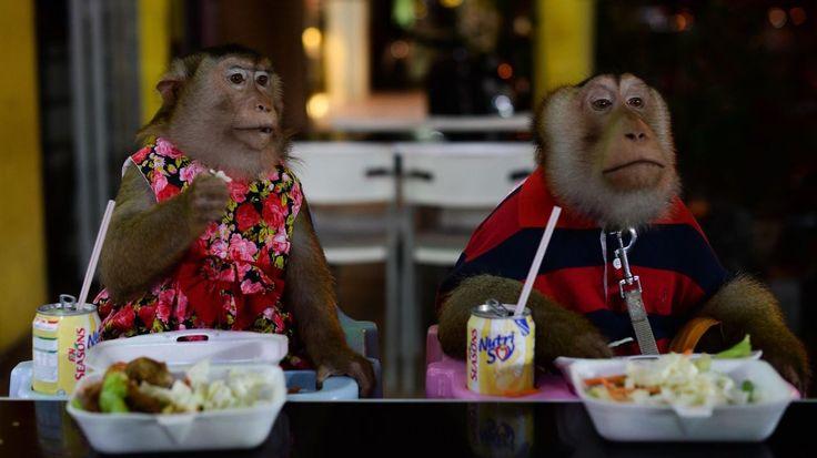 """Un mono mascota hembra llamada """"Shaki"""" (I) y su pareja """"JK"""" (d) cenando en un restaurante de Kuala Lumpur. Jamil, un hombre de Malasia sola de 45 años, tiene mascotas inusuales - dos monos macacos. JK y Shaki, ambos nueve años de edad, por lo general viajar con Jamil en su motocicleta y que a menudo cenar juntos en restaurantes.Los monos que cuestan 56 dólares cada uno y recibir chequeos médicos regulares, se consideran a su familia y se mueven libremente dentro de su casa. (AFP)"""