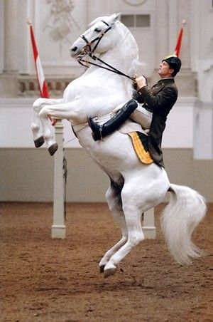 The Spanish Riding School - Vienna Austria. i would KILL to study at this riding school! I read about it and it takes 8-12 years to fully complete the training. I'd love to but thats a long time in friggen Austria.
