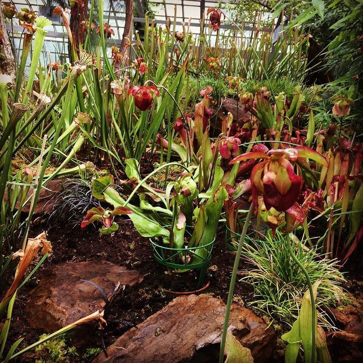Elegant Sarracenia paradis in the Palmengarten frankfurt by davidsplants Carnivoroustagram Pinterest