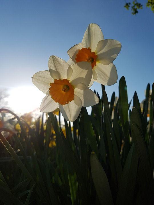 Daffodils, Flowers, Blue Sky, Sunset, Sunshine, Park
