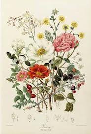 vintage botany wildflowers