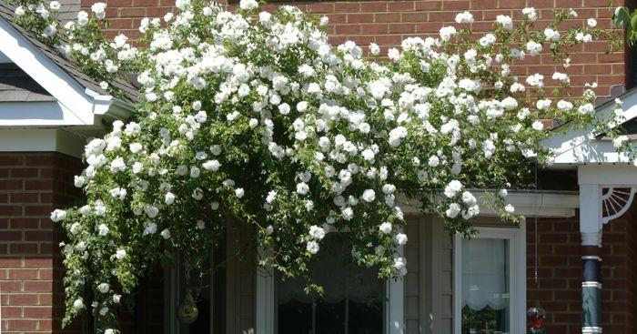 climbing iceberg roses garden pinterest. Black Bedroom Furniture Sets. Home Design Ideas