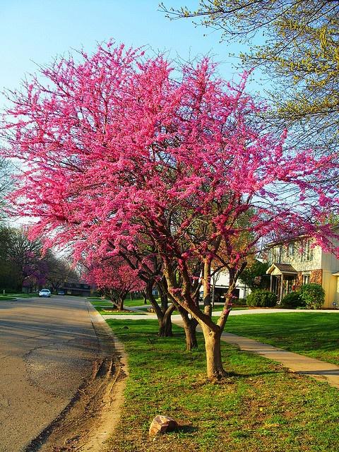Redbud tree    http://www.bhg.com/gardening/plant-dictionary/tree/redbud/