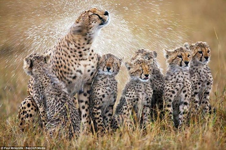. It's shower time. photographer by @ (Paul Mckenzie). Six adorable cheetah cubs get a soaking from their mum after a flash downpour in the Masai Mara. A pack of cheetah cubs are treated to a refreshing shower in this spectacular snapshot of life on...