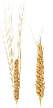 The Difference Between Two-Row & Six-Row Barley  #beer #craftbeer #homebrewing