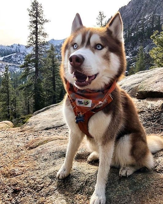 Siberian Husky Dog Loves Hiking Up In The Mountains Cute Animals