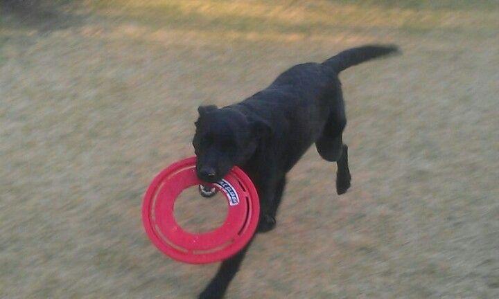 Koda loves playing frisbee