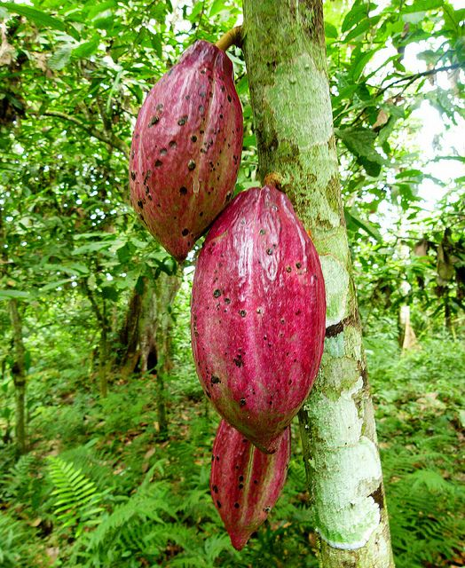 Cacao pods, (known locally as chocolo), rainforest of Cameroon.  Photo: ToSStudio, via Flickr