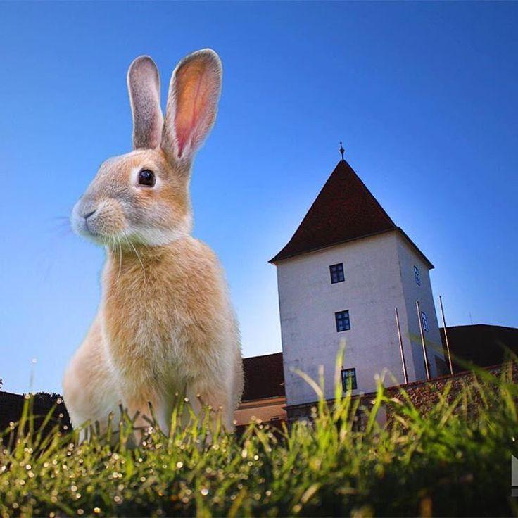 #rabbit #easter #easterbunny #castle #museum #muzeum #sarvar #hungary