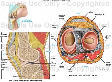 7 mejores imágenes de Anatomia rodilla en Pinterest | Fisioterapia ...
